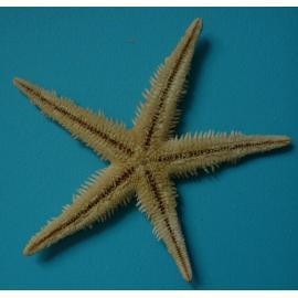 Морска звезда - голяма, плоска